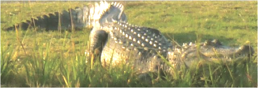 Alligator on Golf Course in N.C.